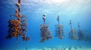 Curacao Reef Restoration Program Launches in May 2015